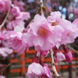 2019年4月11日の上賀茂神社の桜