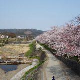 4月7日の半木の道(なからぎのみち)と賀茂川沿いの桜