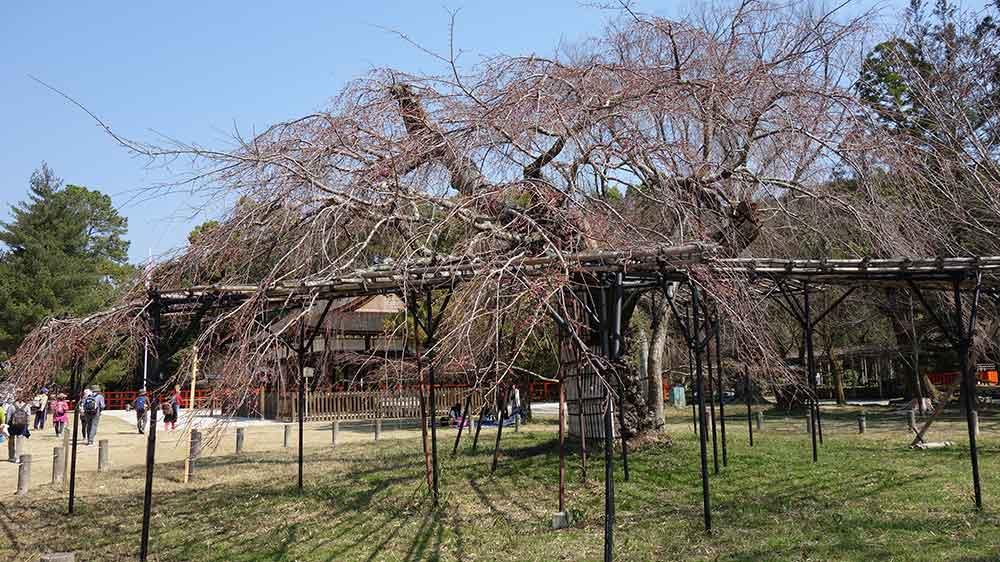 上賀茂神社の御所桜