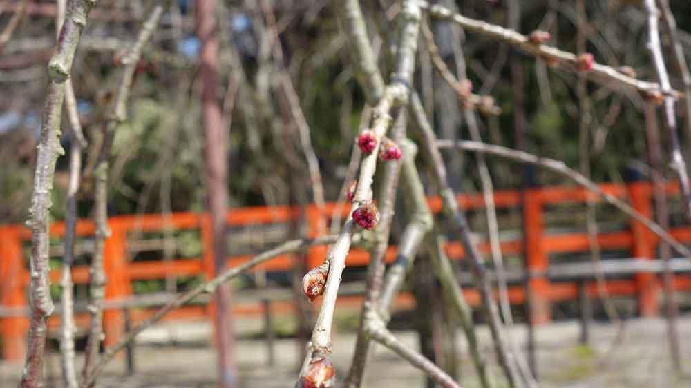 風流桜のつぼみ